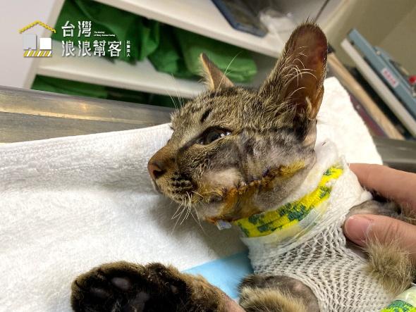 (緊急) 車禍下顎碎裂虎斑貓